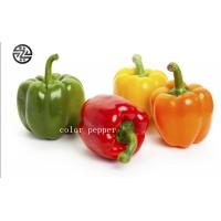 Quality Anti - Cancer Multi Colored Peppers High Nutritional And Edible Value for sale