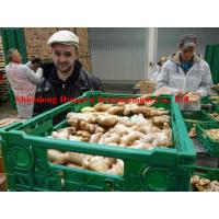 Quality Organic Fresh Ginger in the Germany Market for sale