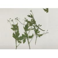 Quality Green Pressed Flower Artwork , Decoration Pea Plant Drying And Pressing Flowers for sale