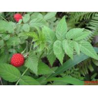 China Natural raspberry extract dietary supplement for sale on sale