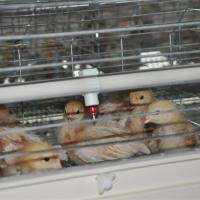 Quality Chicken Brooder Cage For 1 Day Old Baby Chicks Design For Poultry Farm for sale