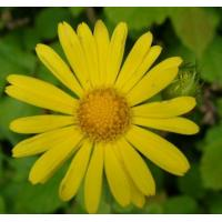 China Arnica Flower Extract 10:1  used for skin care products, skin fresheners, shampoos, on sale