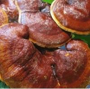 China edible bulk herbs TCMs Ganoderma lucidum spore broking wall tea bags supplier on sale