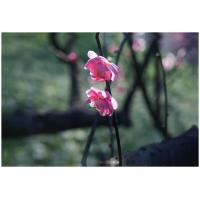 Quality 1 panel rectangle canvas Prints with pink plumblossoms for sale