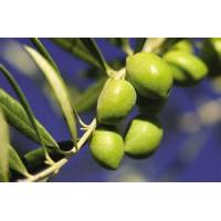 China Olive Leaf Extract -Important medicinal raw on sale