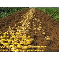 Quality Fresh Holland Potato from the farm directly for sale