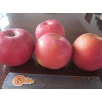 Quality 2013 New fresh red fuji apple, organic apple green plant, small size for sale