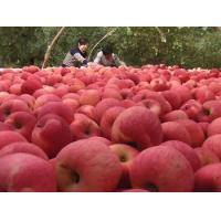 Quality 2013 New Chinese fresh red fuji apple, organic apple green plant, big size for sale