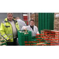 Quality Fresh Ginger/Organic Ginger For Export To Germany for sale