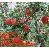 Buy cheap Fresh Fuji Apples from wholesalers