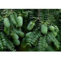 Quality Longteng-71 Chinese torreya seed extract for sale