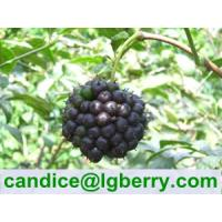 Quality Eleutheroside 0.65%,0.8%,1.5% Siberian Ginseng Extract for sale