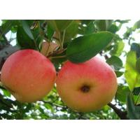 Quality 2013 New fresh red fuji apple, organic apple green plant for sale