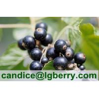 Quality Top quality black currant anthocyanin for sale