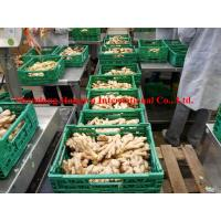 Quality Organic dried Ginger in the Germany Market for sale