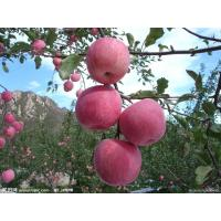 Buy 2013 New Chinese fresh red fuji apple, organic apple green plant, big size at wholesale prices