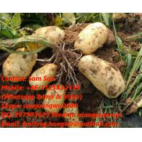 Quality Fresh Holland  Potato for sale