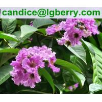 Quality 100% Natural Banaba Leaf Extract Corosolic acid for nutritional supplement for sale