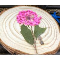 Dried Pink FlowersNarcissus With Stem , Pressed Flower Ornaments For Cell Phone Beautify