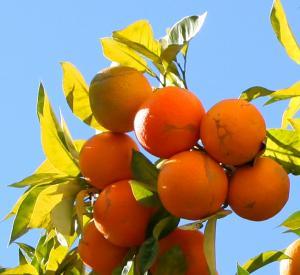 Quality Citrus Aurantium Extract 30%~95% flavone(daisy@nutra-max.com) for sale