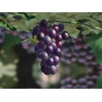 Quality Grape seed(extract) for sale