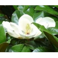 Quality Hot Products Magnolia Bark Extract for sale