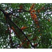 Buy cheap Standardized Extract Sea Buckthorn ExtractSea Backthern Extract from wholesalers