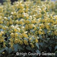 China Variegated Yellow Archangel on sale