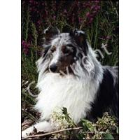 Sheltie Blue Merle Flag (Garden)