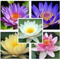 China 25 Seeds Aquatic Lotus Mixed Colors Water Lily Flower on sale