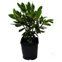 China Rhododendrons & Azaleas Rhododendron Black Magic on sale