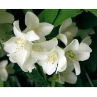 Buy cheap Aromatherapy Oils Jasmine Oil from wholesalers