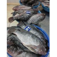 Buy cheap Fisheries Frozen Tilapia WGS from wholesalers